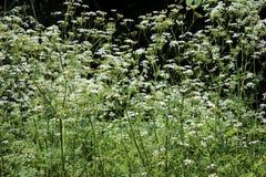 Der Betriebsschierling Umbelliferae Blühende kleine weiße Blumen Stockfotos