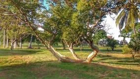 Der bewaffnete Baum vier Stockbilder