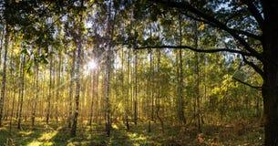 Der Birkenwald und der große Baum Stockbilder