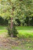 Der Birne doesn't Fall weit von den Baum stockfotografie