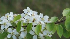 Der Birnenbaum blüht weiße Blumen Üppige blühende Gärten stock footage