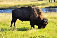 Der Bison Stockfotos