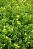 Der blühende Cinquefoil shrubby (Kuril-Tee shrubby, ein silverwe Lizenzfreies Stockbild