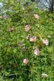 Der blühende dogrose Hund (ein Rosenhund, eine Rose von Kanin) (Rosa c Stockfotos
