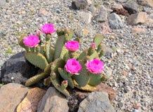 Der blühende Kaktus in der Wüste Lizenzfreies Stockfoto