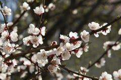 Der blühende Kirschbaum Stockfoto