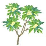Der blühende Plumeria in der Farbe Lizenzfreie Stockfotos