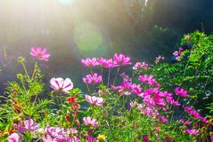 Der Blütenkosmos blüht in der grünen Wiese oder im Garten am sonnigen Tag mit Aufflackern Stockfotografie