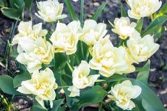 Der Blütenstand von schönen weißen Tulpen wächst auf einem Blumenbeet im Frühjahr unter dem Offenen Himmel, Lizenzfreies Stockbild
