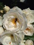 Der Blütenstaub montierte durch Bienen von den Blumen Stockbild