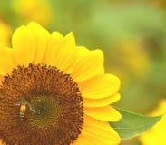 Der Blütenstaub der Sonnenblume mit einer Biene lizenzfreies stockbild