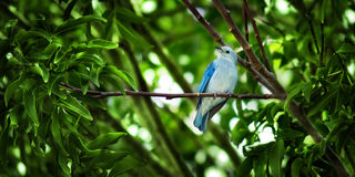 Der blau-graue Tanager - Thaupis Episcopus stockfotografie