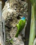 Der blau-throated Barbet, der Nest, Pokhara Nepal macht lizenzfreie stockfotos