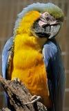 Der Blau-und-gelbe Keilschwanzsittich Stockfotografie