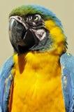 Der Blau-und-gelbe Keilschwanzsittich Lizenzfreie Stockfotografie