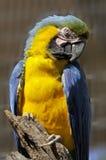 Der Blau-und-gelbe Keilschwanzsittich Stockfotos