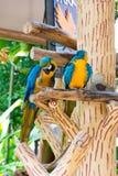Der blau-und-gelbe Keilschwanzsittich, alias der Blau-undgoldkeilschwanzsittich Stockfotos