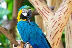 Der blau-und-gelbe Keilschwanzsittich, alias der Blau-undgoldkeilschwanzsittich Stockfotografie