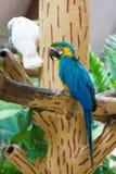 Der blau-und-gelbe Keilschwanzsittich, alias der Blau-undgoldkeilschwanzsittich Stockfoto