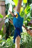 Der blau-und-gelbe Keilschwanzsittich, alias der Blau-undgoldkeilschwanzsittich Stockbild