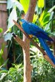 Der blau-und-gelbe Keilschwanzsittich, alias der Blau-undgoldkeilschwanzsittich Lizenzfreies Stockbild
