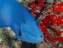 Der blaue Fisch in den Korallen in den Malediven sagt, dass i-` m offiziell hier und das Kinn sehr interessant ist Lizenzfreies Stockfoto