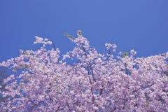 Der blaue Himmel und der rosafarbene Kirschbaum Stockfotografie