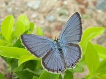 Der blaue pancy Schmetterling Niedrige Schärfentiefe stockbilder