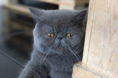 Der Blick der grauen persischen Katze Stockfotos