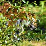 Der Blick des Tigers Schön, Grün Stockbild