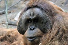 Der Blick eines Orang-Utans lizenzfreies stockfoto