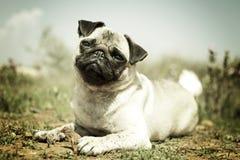 Der Blick eines Pug Stockbild
