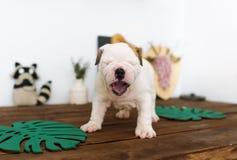 Der blinde Welpe der englischen Bulldogge nahaufnahme Lizenzfreies Stockbild