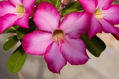Der Blume Adenium, Nusa Penida, Indonesien Stockbilder