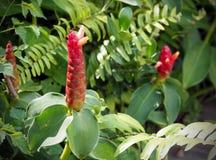 Der Blumen-oder Zingiber-Blumen Zerumbet rote Farbe Lizenzfreie Stockbilder