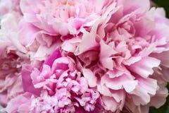 Der Blumenstrauß der rosa Pfingstrosen stockfotos