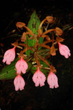 Der Blumenstrauß Rosa-Lipper Habenaria (rosa Schnelldrache-Blume) Lizenzfreie Stockbilder
