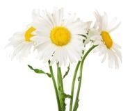 Der Blumenstrauß von leichten Garten camomiles Lizenzfreies Stockbild