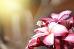 Der Blumenstrauß von rosa Plumerias blüht auf der rechten Seite des Bildes, mit Sonnenlicht auf der linken Seite lizenzfreies stockfoto