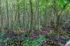 Der Boden des Mangrovenwaldes mit Mangrovenbäumen, wie in der Lekki-Erhaltungs-Mitte in Lekki, Lagos Nigeria gesehen stockfoto