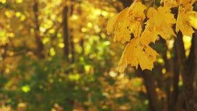 Der Boden wird mit gelben gefallenen Blättern umfaßt Gelbe Blätter, die im Wind, mit bokeh Effekt schwingen Naher Schuss Einfach, stock video