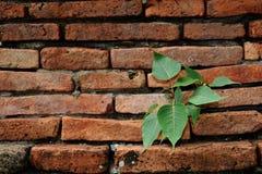 Der Bodhi-Baum und der alte Ziegelstein Stockfoto