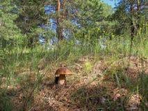 Der Boletus essbar im Wald Lizenzfreie Stockbilder