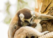 Der Bonbon der Lemurmama Lizenzfreie Stockfotos