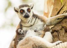 Der Bonbon der Lemurmama Stockbilder