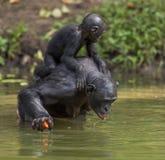 Der Bonobo, der auf ihren Beinen im Wasser mit einem Jungen auf einer Rückseite stehen und die Getränke wässern Grüner natürliche Stockfotografie