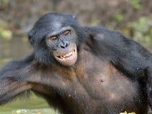 Der Bonobo, der im Wasser steht, sucht nach der Frucht, die in Wasser fiel Bonobo (Pan-paniscus) Stockfotografie