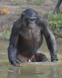 Der Bonobo, der im Wasser steht, sucht nach der Frucht, die in Wasser fiel Bonobo (Pan-paniscus) Stockbilder
