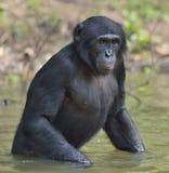 Der Bonobo, der im Wasser steht, sucht nach der Frucht, die in Wasser fiel Bonobo (Pan-paniscus) Lizenzfreie Stockfotografie