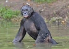 Der Bonobo, der im Wasser steht, sucht nach der Frucht, die in Wasser fiel Bonobo (Pan-paniscus) Lizenzfreies Stockbild